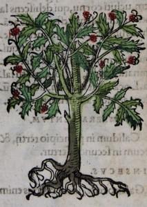Branche de houx Botanicon d'Adam Lonicer, 1565